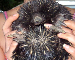Echidna being released at Allawah by a wildlife carer