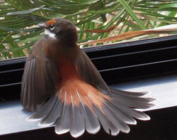 Rufous Fantail found himself on the wrong side of the window