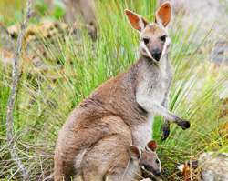 See native Australian wildlife like this wallaby and her joey.